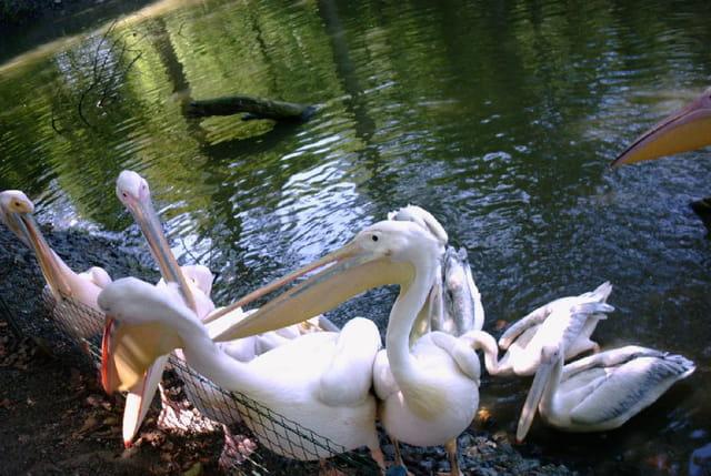 Pelican.can