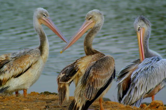 Pélicans à dos rose