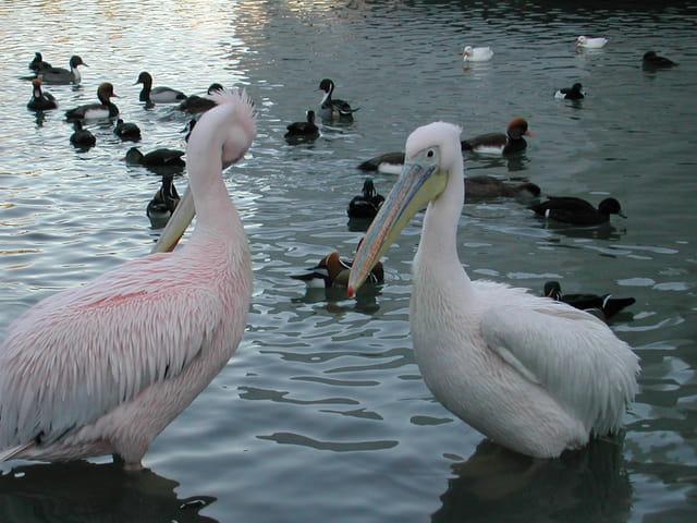 Pelicans en bonne compagnie