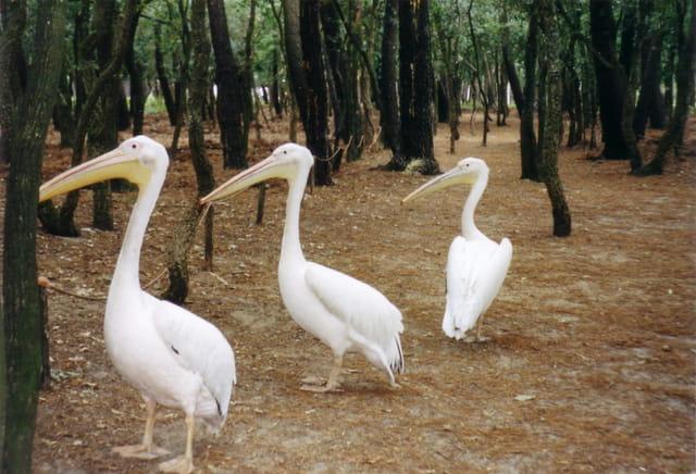 Pelicans story