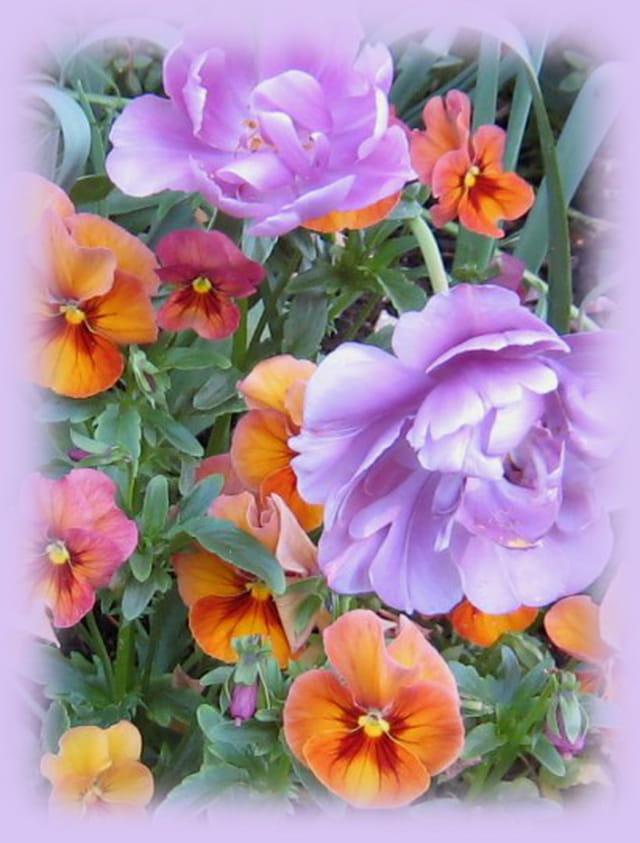 Pensées et tulipes mauves