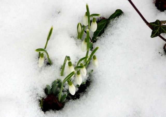 Perce neige dans la neige ...