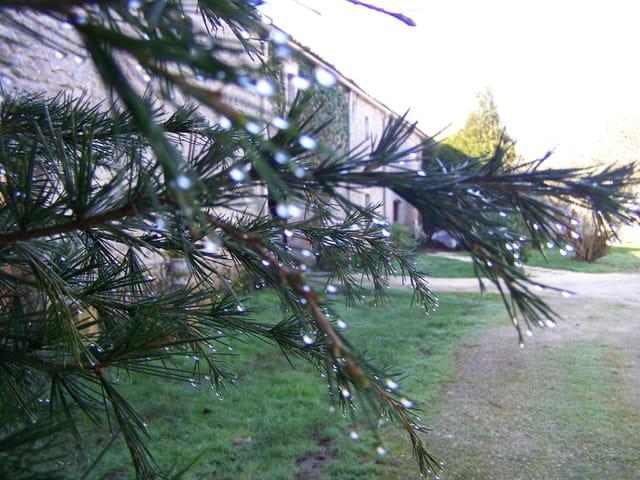 Perles de pluie sur branche de sapin