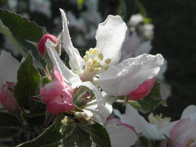 Perles de rosée sur fleur de pommier