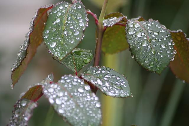 Perles sur feuilles
