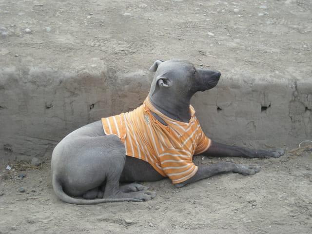 Pérou Août 2011 chien préhispanique