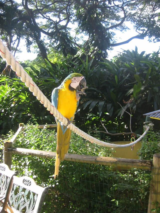 Perroquet de guadeloupe