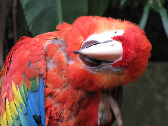 PERROQUET, je m'appelle ARA et j'habite le zoo d'ASSON.