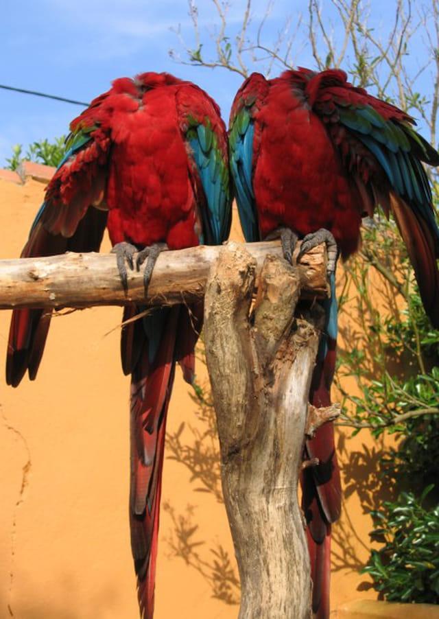 Perroquet peu bavard