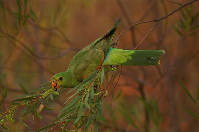 Perruche royale d'Australie