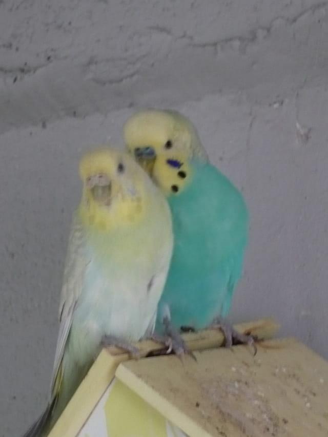 perruches ondulées précieuse & pastel
