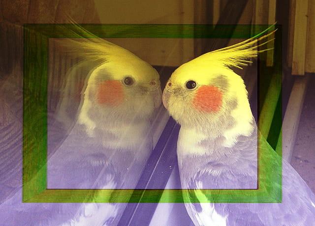 Perruchette double vision....
