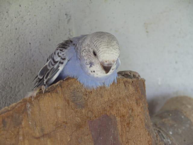 perruchon bleu