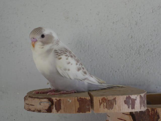 perruchon - grisette