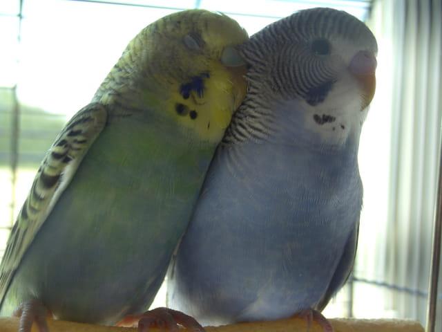 perruchons