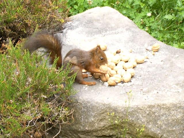 Petit déjeuner de l'écureuil