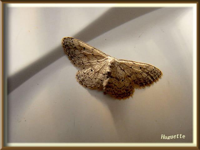 Petit papillon de nuit par huguette roman sur l 39 internaute - Signification papillon de nuit ...