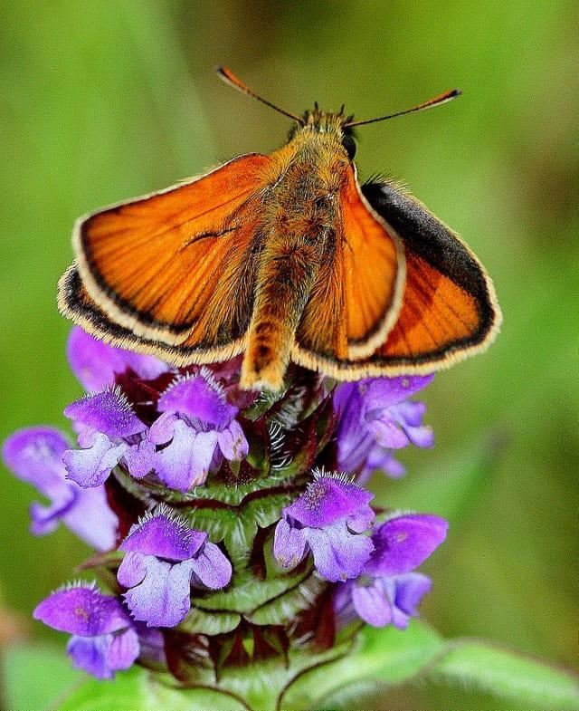 Petit papillon Sylvaine