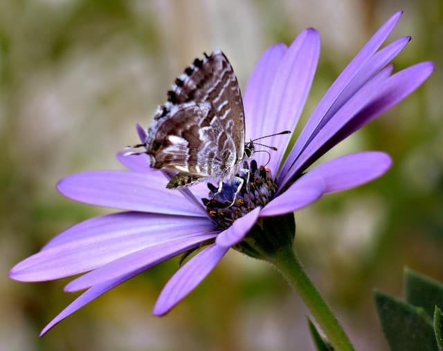 Petit porte-queue sur fleur