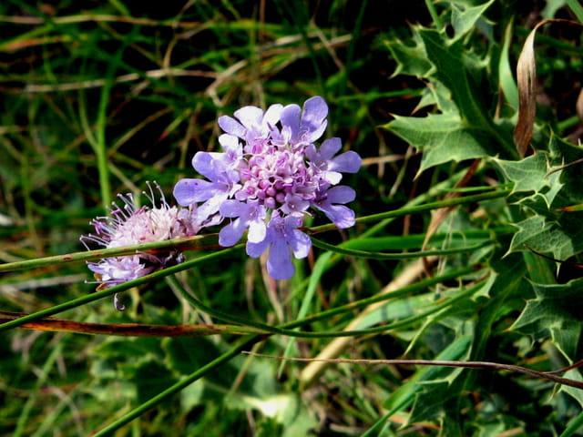 Petite fleur de chardon