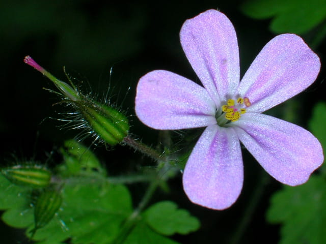 Petite fleure