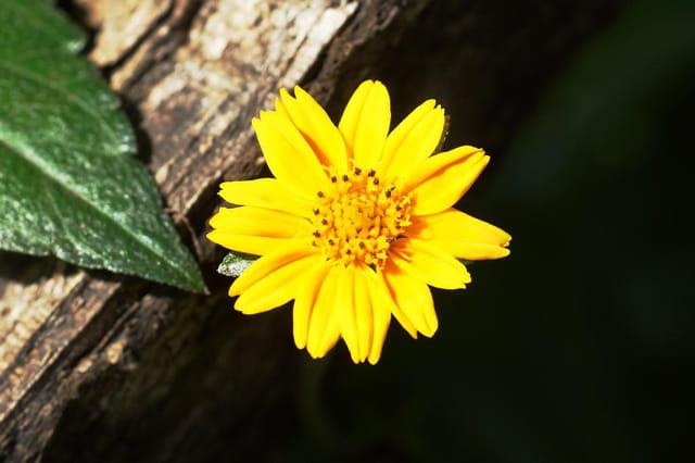 petite fleure jaune