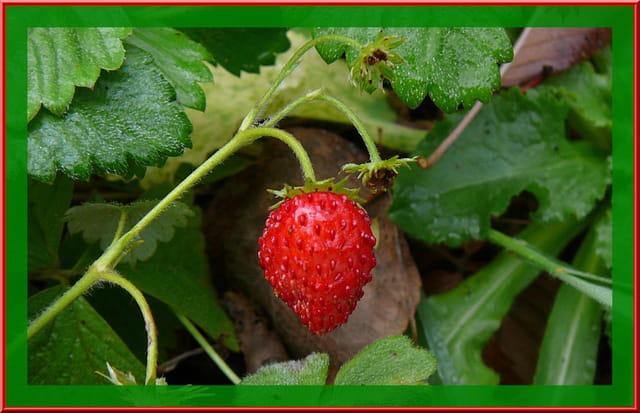 Petite fraise des bois de novembre