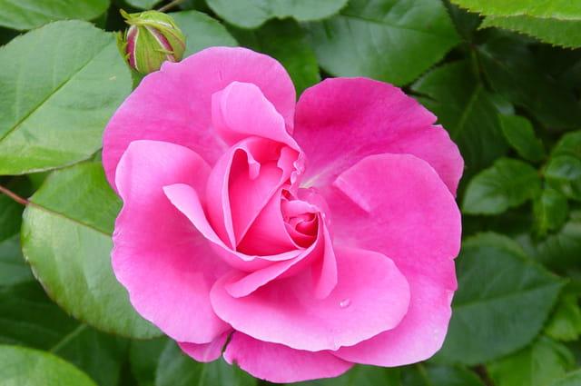 Petite goutte d'eau sur une rose
