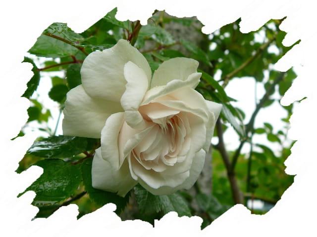 petite rose blanc cr me d 39 un rosier grimpant par jacqueline dubois sur l 39 internaute. Black Bedroom Furniture Sets. Home Design Ideas