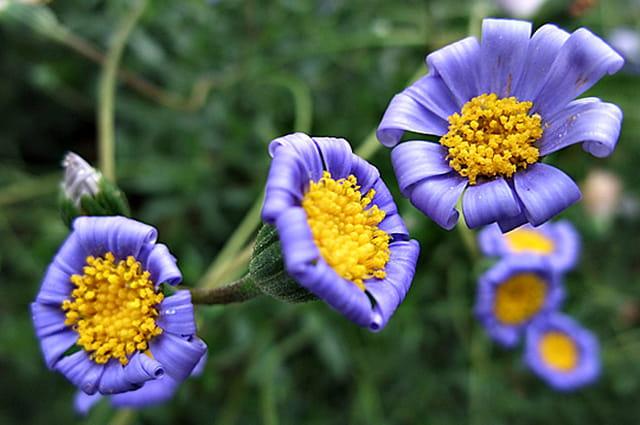 petites fleurs bleues par flor al ibanez sur l 39 internaute. Black Bedroom Furniture Sets. Home Design Ideas