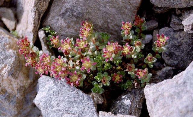 Petites fleurs dans les rochers