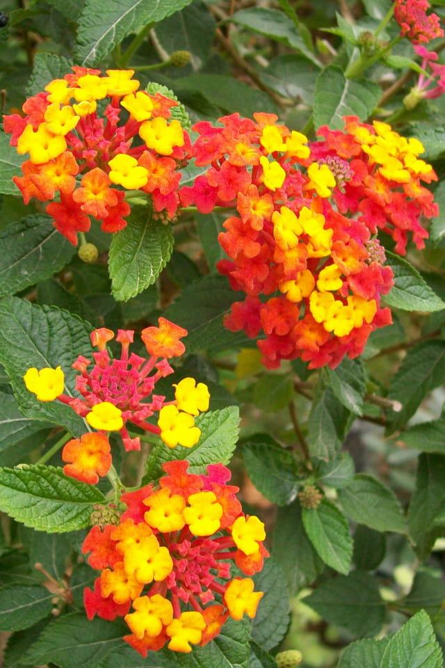 Petites fleurs rouges et jaunes