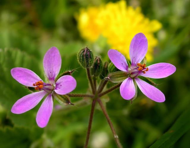 Petites fleurs violines