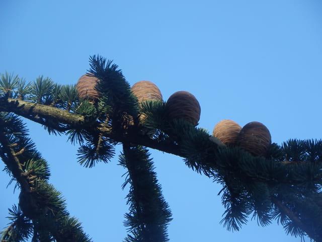 Petites pommes de pins alignées