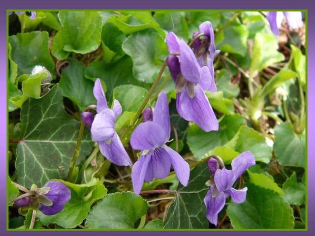 Petites violettes