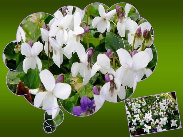 Petites violettes blanches