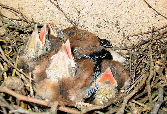 Petits geais au nid