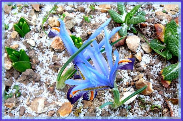 Petits iris nains frigorifiés dans le jardin
