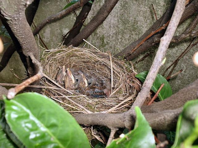Petits merles au nid