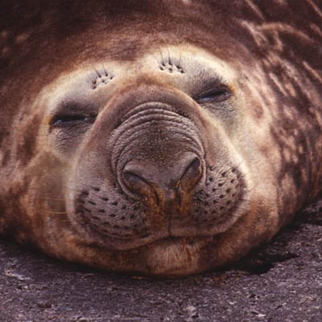 Phoque Elephant de mer