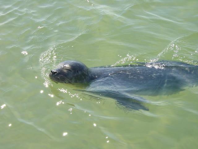 Phoque nageur