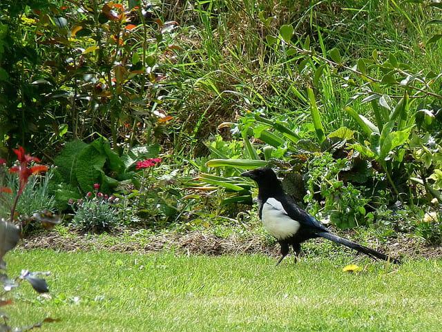 Pie dans le jardin