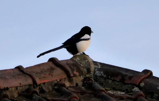 Pie sur le toit de mes voisins