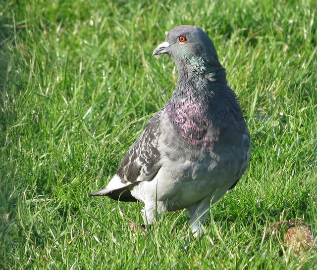 Pigeon bizet par gontrand bayard sur l 39 internaute - Se debarrasser des pigeons ...