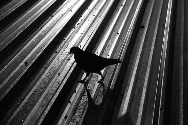 Pigeon de la gare de l'est