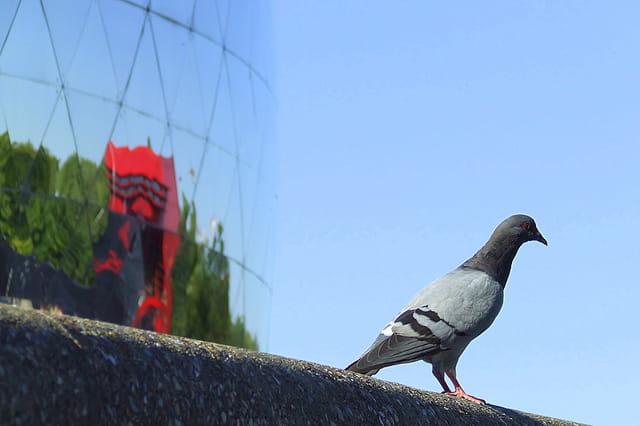 Pigeon de la géode