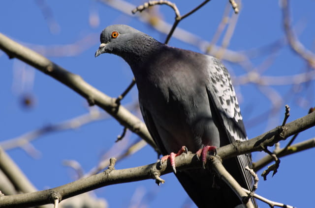 Pigeon des villes