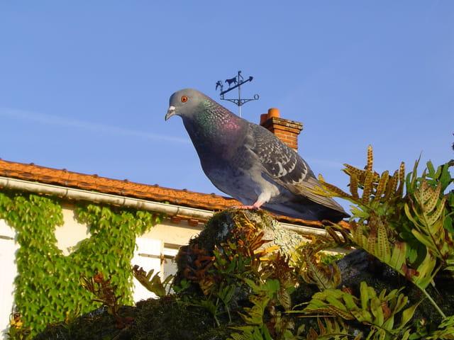 Pigeon familier