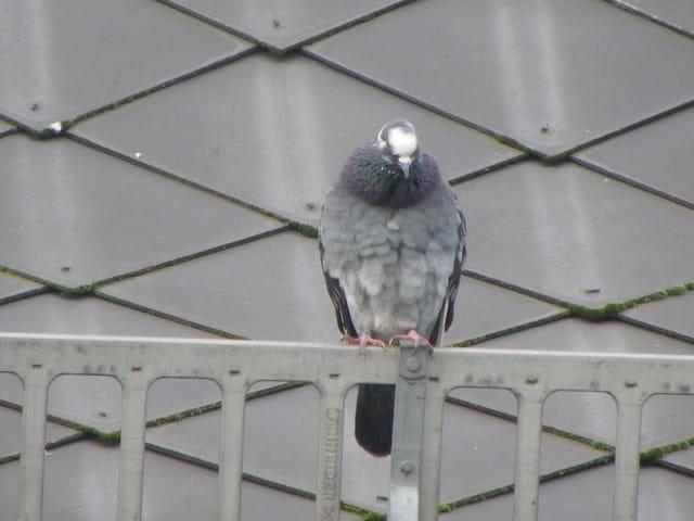 Pigeon frigorifié