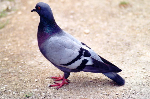 Pigeon lorrain